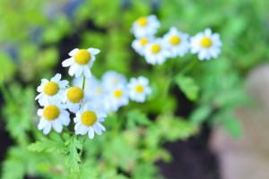 Mutterkraut- hilft sehr gut bei Kopfschmerzen und Migräne