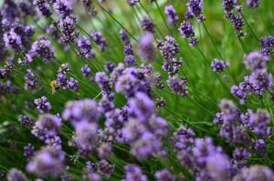 Lavendel für einen entspannenden Tee