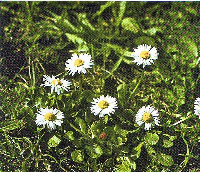 Gänseblümchen( Bild aus Heilpflanzen Praxis Heute)