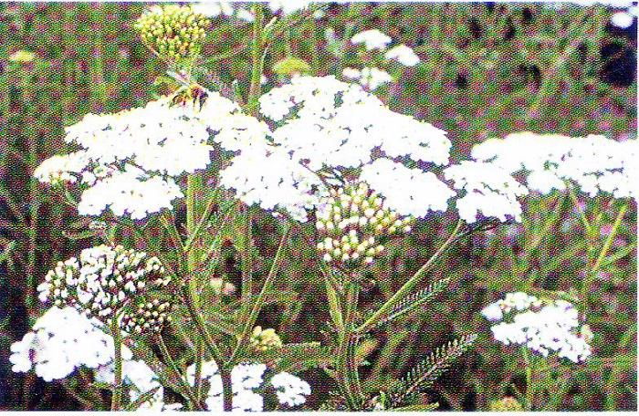 Schafgarbe( Bild aus Heilpflanzen Praxis Heute)